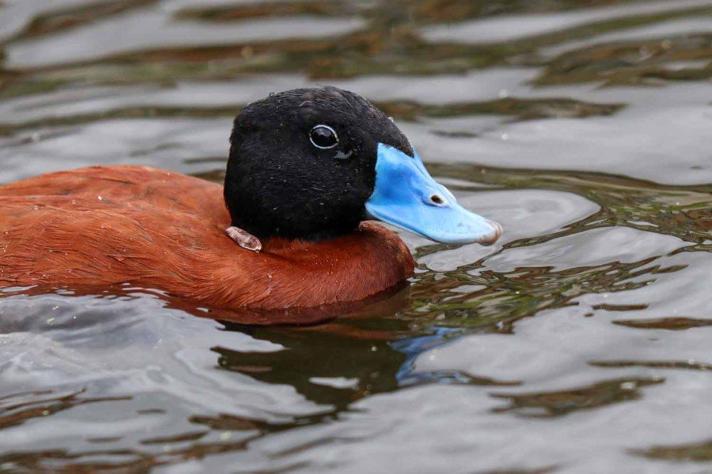 Argentine ruddy duck