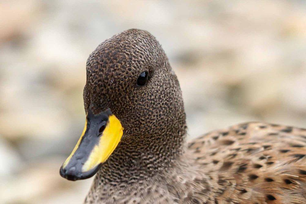Yellow billed duck 2